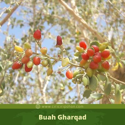 Buah Gharqad