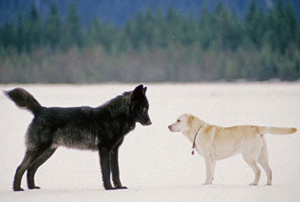 He Watched Helplessly As A Wild Wolf Approached His Dog. Then Something Incredible Happened. - Nick was stunned to see the two start to play together. He managed to capture this photo of them during the encounter.