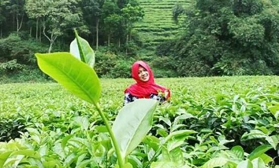 Gambar Kebun Teh Jamus Ngawi Foto Kece Kebun Teh Jamus Ngawi Harga Tiket Masuk Terbaru Dan Alamat Menuju Kebun Teh Jamus Ruangdiary Com