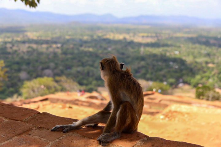 monkey looks far nature pictures mountains around