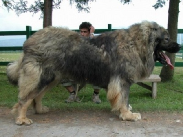 Most Dangerous Caucasian of Charka Dogs