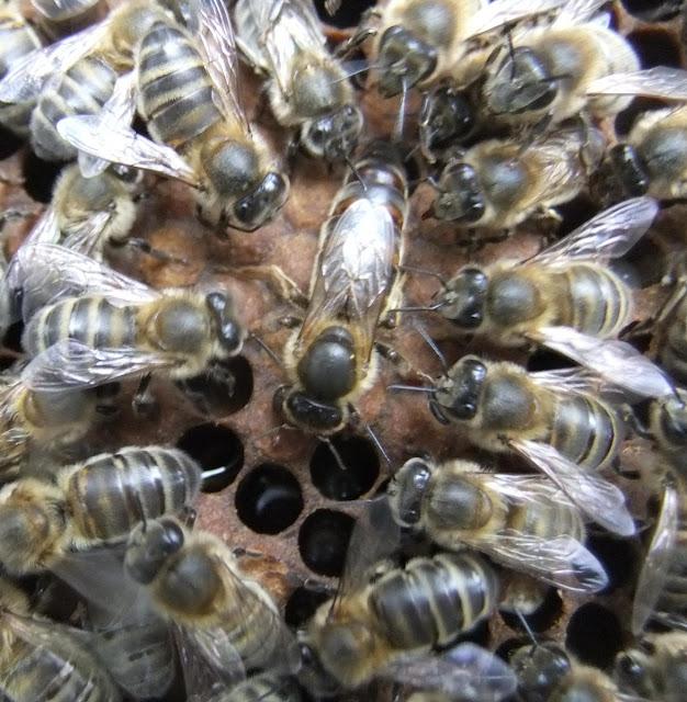 Η καλύτερη φυλή μελισσών ever