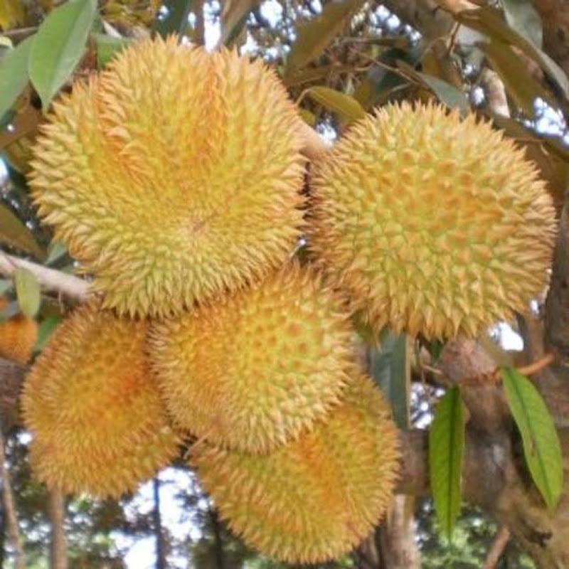 Bibit tanaman buah durian bawor unggulan durian bibit durian murah Sabang