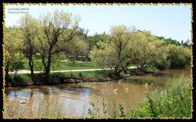Five pelicans floating in Wascana Creek, Regina, Saskatchewan