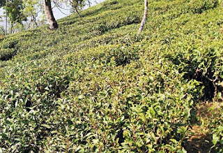 Tea garden in North Bengal