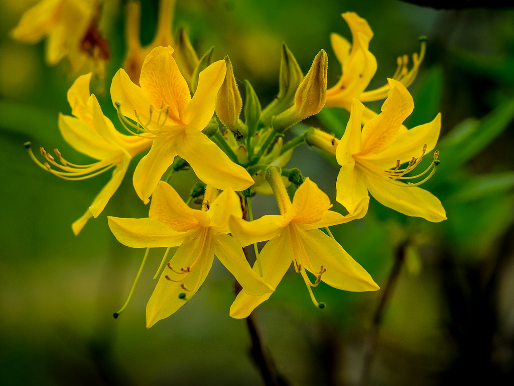 Rhododendron Luteum Yellow Azalea Care And Culture Travaldo S Blog