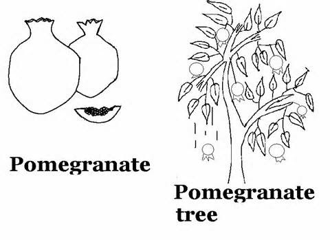 pomegranate images coloring pages for kids | BibleFactsPlusII: POMEGRANATE COLORING PAGE