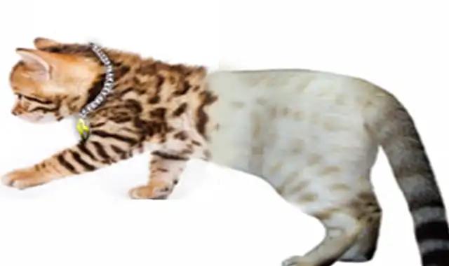 chats du Bengal