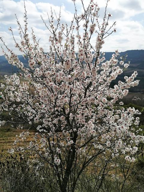 almendro en flor en brihuega