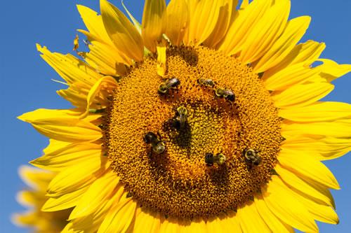Μη ισορροπημένη διατροφή, η κύρια αιτία θανάτου των μελισσών