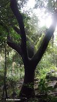 Spooky-looking tree - Waimea Valley, Oahu, HI
