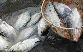 Pakan Ikan Nila Agar Cepat Besar Panen 4 Bulan Untuk Skala Usaha