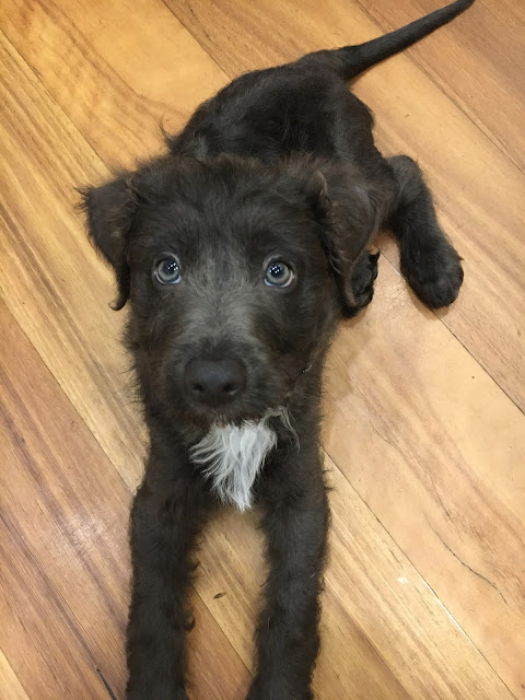 Border Collie Cross Poodle Puppy Bordoodle