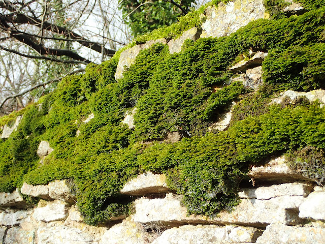 Fine sheets of Porella platyphylla in the morning sun.