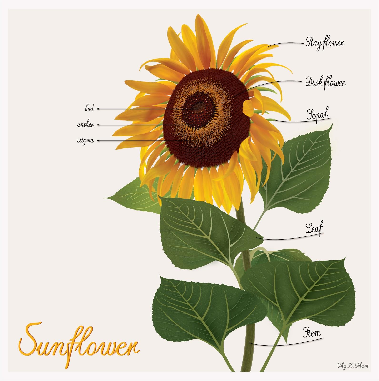 Khoa Thy 's Journal: My sunflower illustration