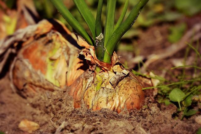 kharif crop loss