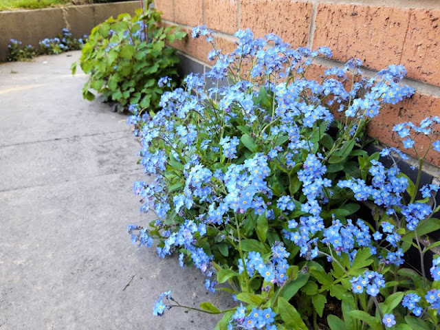 Image shows blue forget me not flowers growing out of a gap in the paving flags against a brick wall