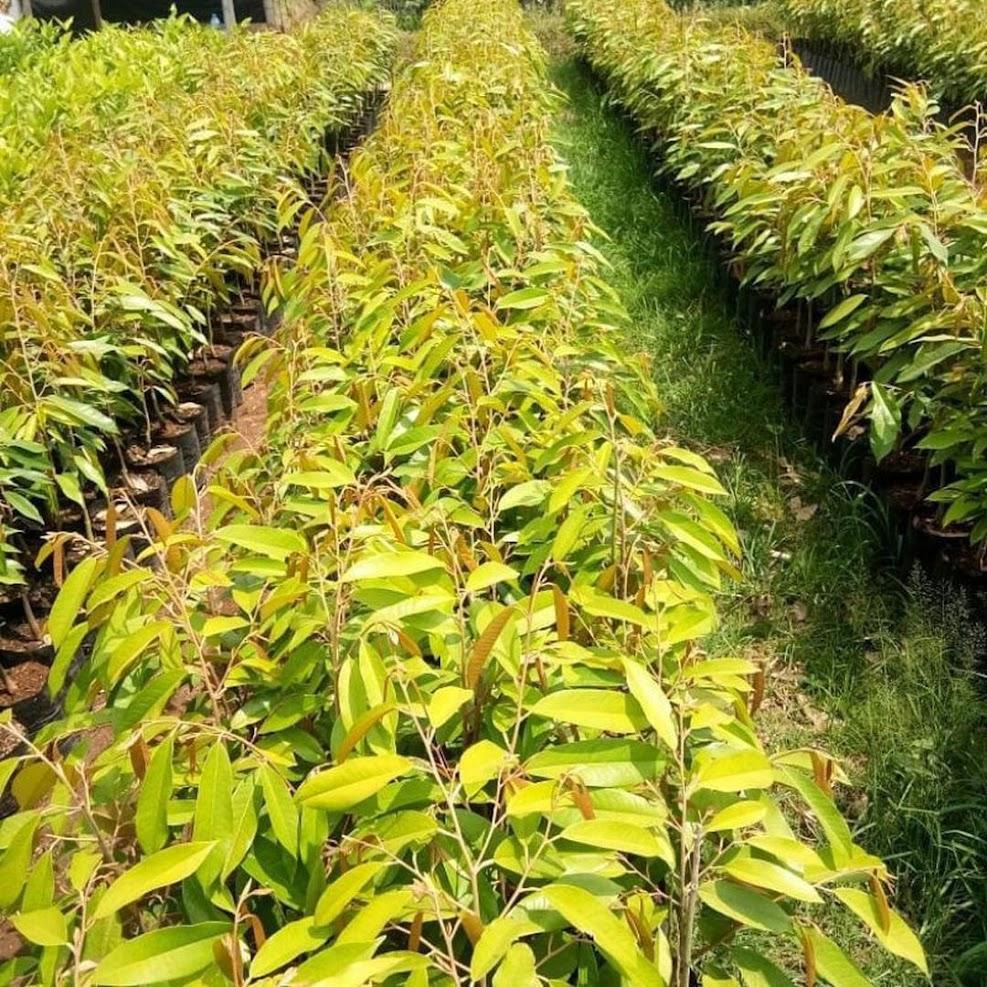 Bibit Durian Musangking Bengkulu