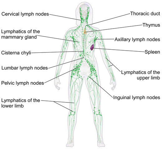 picture of female lymphatic system
