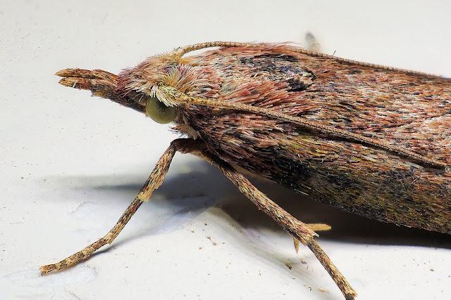 Hummelsmotte (Aphomia sociella)