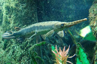 Longnose Gar ( Ikan Aligator )