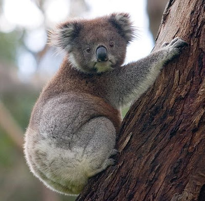 facts about Koala