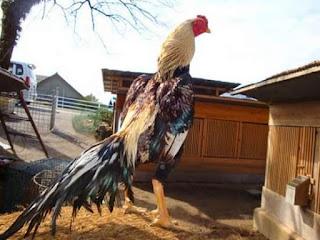 Cara meningkatkan kekuatan leher, sayap, kaki dan pukulan ayam aduan