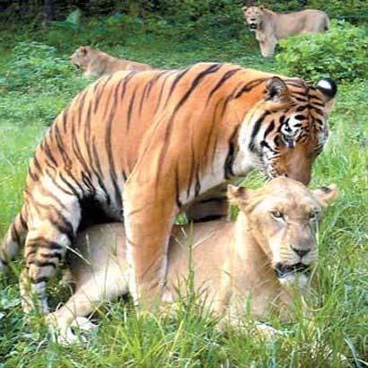 hổ và sư tử kết hợp