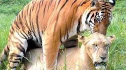 Điều gì xảy ra nếu bạn nuôi một con Hổ con và một con Sư Tử con cùng nhau?