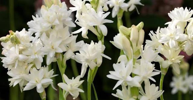 Aneka Khasiat Bunga Sedap Malam Untuk Mengatasi Berbagai Penyakit | Roliyan.com
