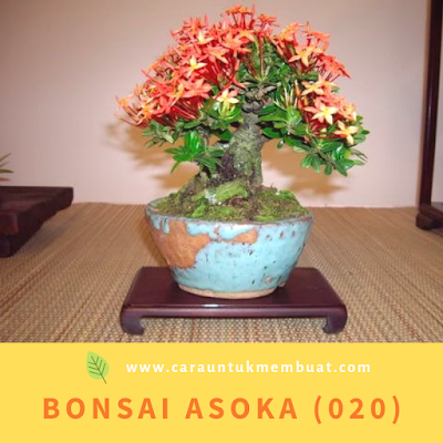 Bonsai Asoka (020)