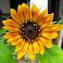 "Wordless Wednesday: Sunflower ""Little Becka"""