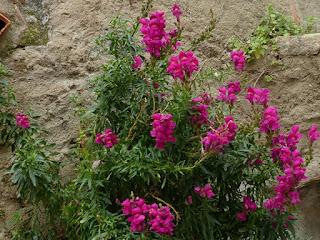 Gueule de loup - Antirrhinum majus - Muflier à grandes fleurs