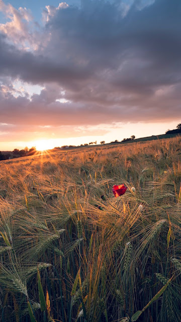 Pôr do Sol Flor Poppy no Campo