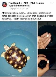bladder stone pada kura kura