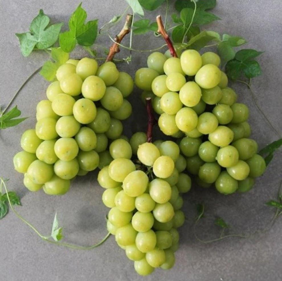Bibit anggur import varietas SHINE MUSCAT Jambi