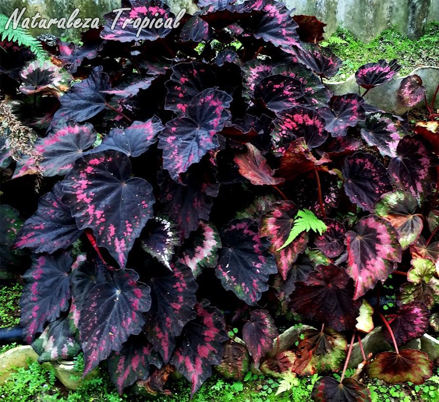 Begonia con hojas espectaculares