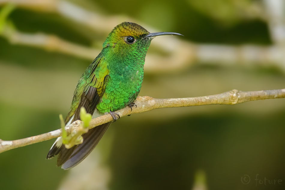 Elvira cupreiceps, Coppery-headed Emerald, koolibri