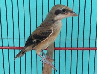 Cara merawat burung cendet anakan trotolan Cara Merawat Burung Cendet Anakan Trotolan