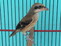 Cara Merawat Burung Cendet Anakan Trotolan