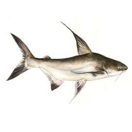 Paroon Sharks Information