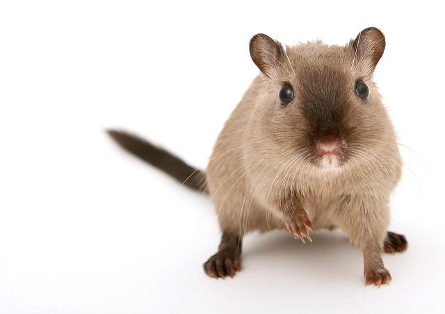 चूहा(Rat)मारना नहीं चाहते है तो फिर ये उपाय करें