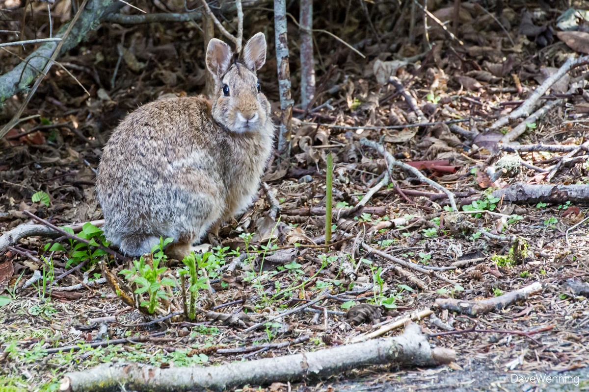 Eastern Cottontail Rabbit, Deception Pass State Park