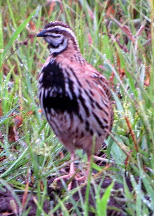 Indian bird - Coturnix coromandelica