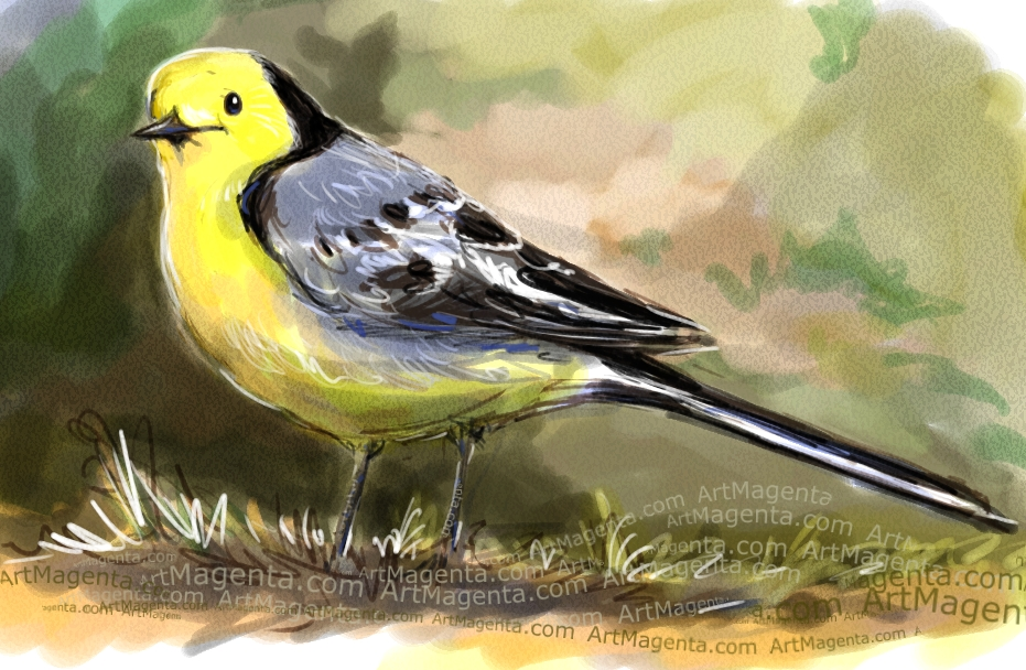 Citrine Wagtail sketch painting. Bird art drawing by illustrator Artmagenta