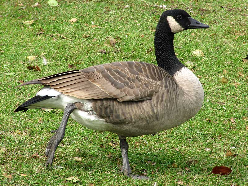 The Canada Goose A Wild Bird The Wildlife