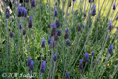 lavender plant on the west side of the house: LadyD Books