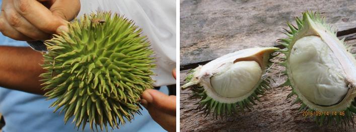 Jenis buah durian daun
