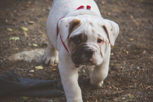 Unknown and fun facts about English bulldog||English bulldog temperament &Behaviour.