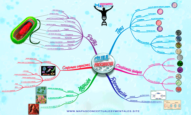 Mapa mental de la célula procariota con imágenes